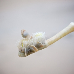 Flotsam toothbrush with goose barnacles