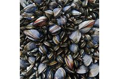 Mussel Beds 1