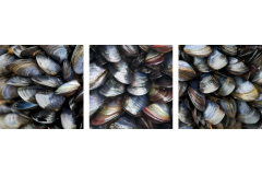 Mussel Beds triptych