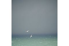 Two Gulls Riding Thermals